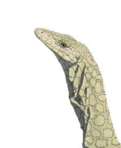 Familiar Perentie